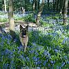 Zaz In Bluebell Woods Apr 2010